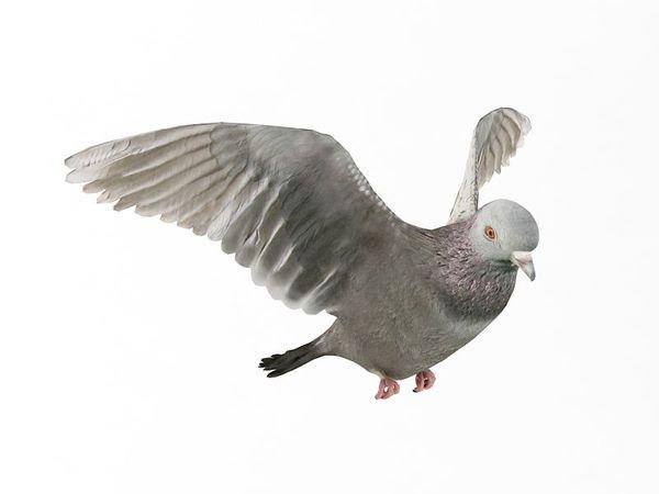 pigeon 13 am83 image 0