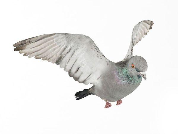 pigeon 10 am83 image 0