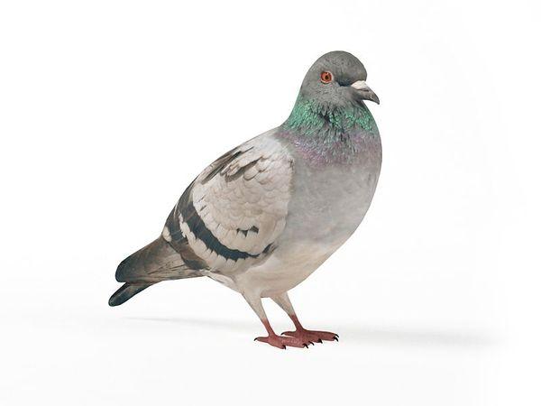 pigeon 08 am83 image 0