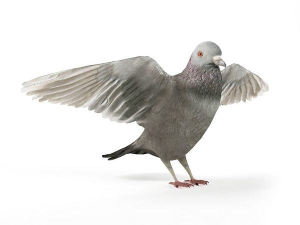 pigeon12 am83 image 0
