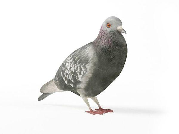 pigeon 11 am83 image 0
