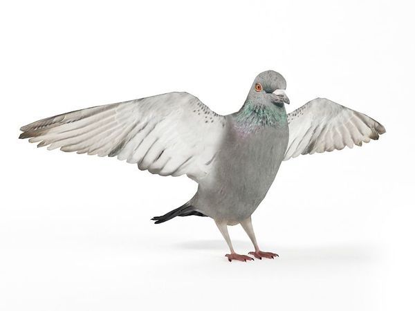 pigeon 09 am83 image 0