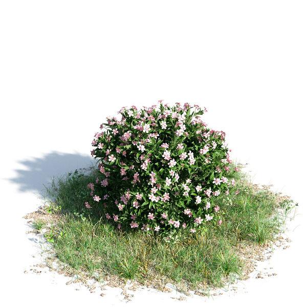 Nerium oleander dwarf 43 am154 Image 1