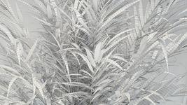 VP Areca Palm