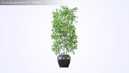 VP Ficus Benjamina