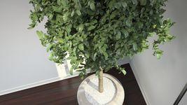 VP Bay Laurel Tree