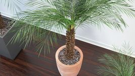 VP Phoenix Palm