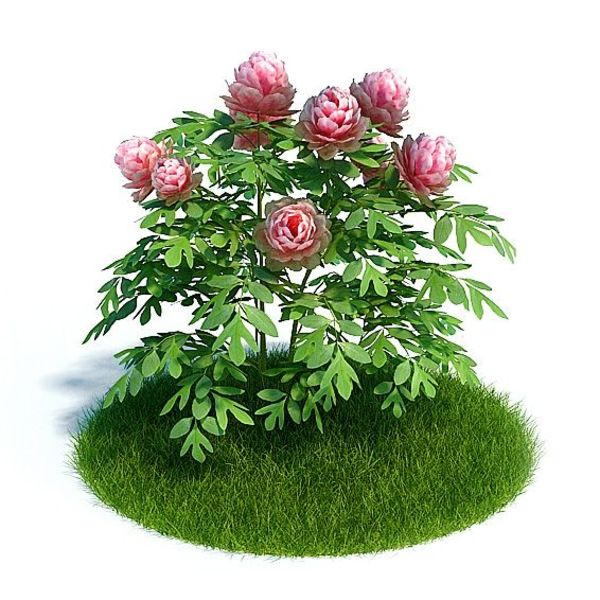 Peonia Plant 19 AM61 image 0