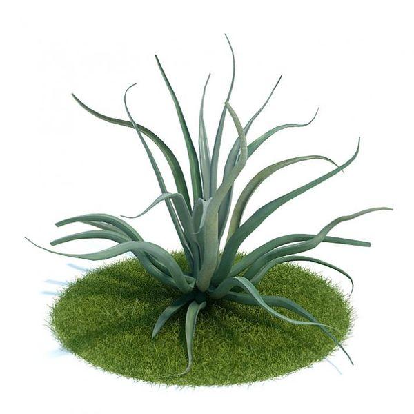 Agave vilmoriniana Plant 46 AM61 image 0