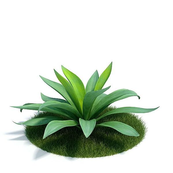 Agave Plant 01 AM61 image 0